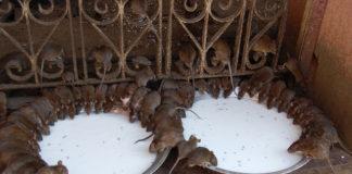 Alcuni topi del Tempio